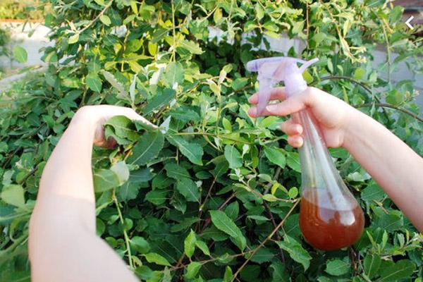 Опрыскивание растений перечным раствором