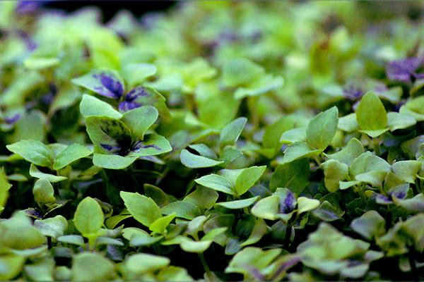 Микрозелень базилик