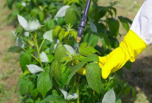 Обработка малины от вредителей