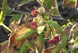 Пожелтевшие листья малины