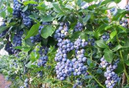 Плодоношение голубики «Нортланд»