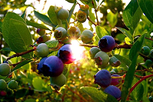 Созревание ягод голубики