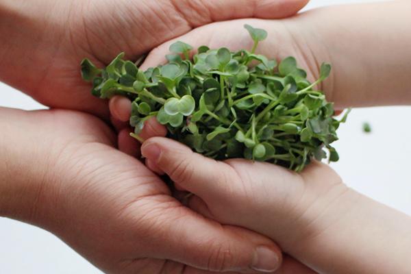 Микрозелень брокколи в руках у ребенка