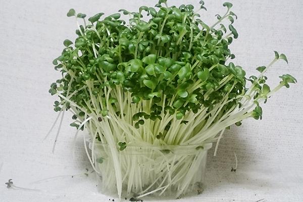 Микрозелень брокколи в пластиковом контейнере