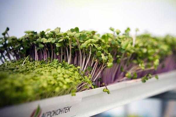Гидропонный метод выращивания микрозелени