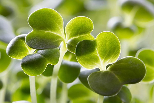 Листочки микрозелени брокколи