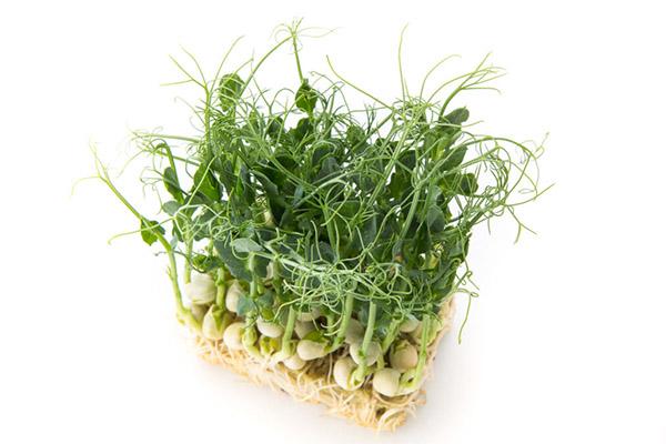 Микрозелень гороха, выращенная без земли