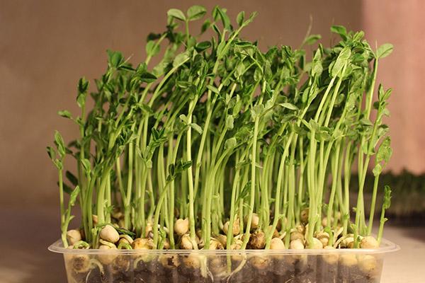 Микрозелень гороха в пластиковом лотке
