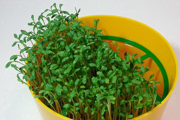 Выращивание кресс-салата на микрозелень
