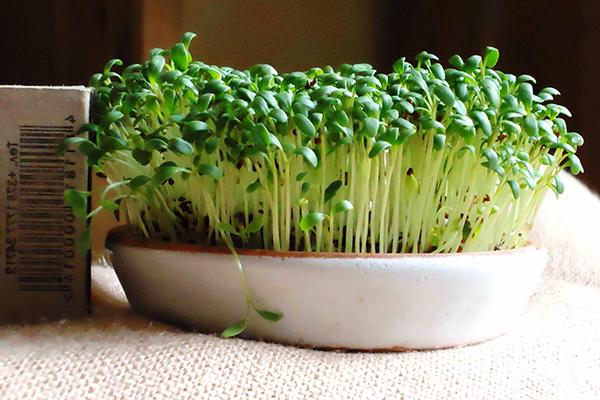 Кресс-салат в керамическом лотке с грунтом