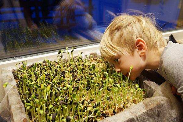 Ребенок наблюдает за ростом микрозелени подсолнечника