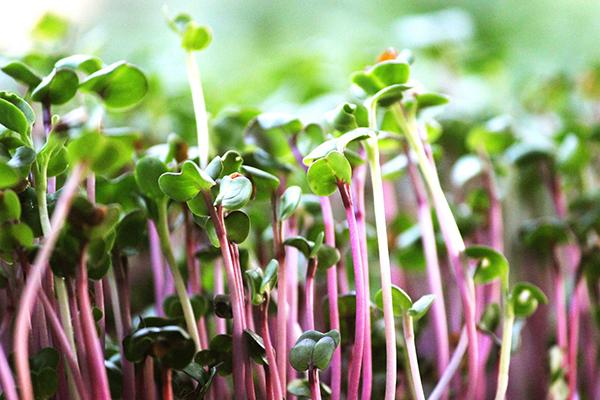 Микрозелень редиса Чайна роуз