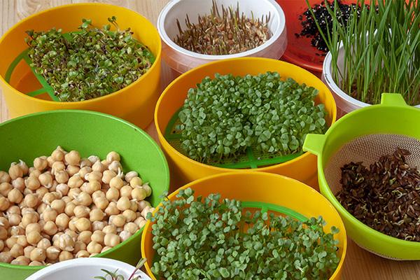 Разные виды микрозелени в проращивателях