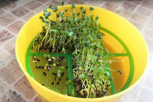 Простейший проращиватель для микрозелени