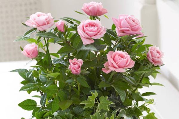 Цветущая комнатная роза