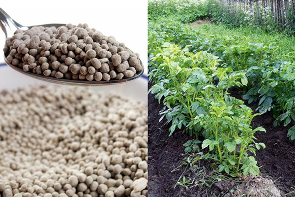 Подкормка картофеля азофоской