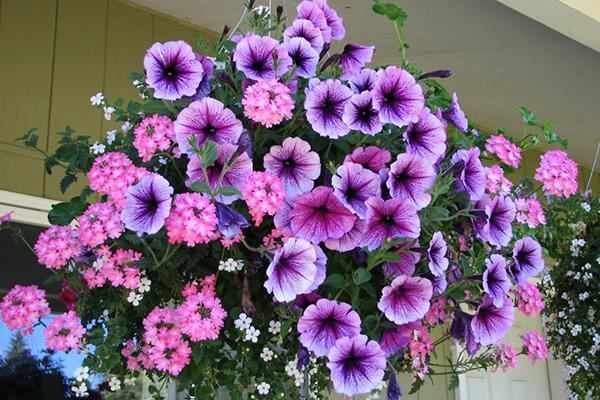 Ампельные растения в кашпо на балконе