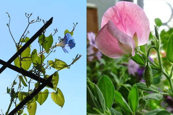 Цветение ипомеи и душистого горошка