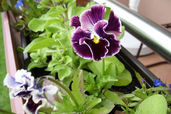 Цветение виолы на балконе