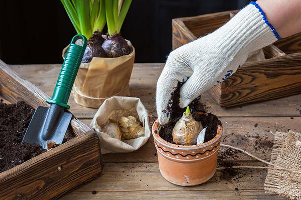 Посадка луковицы гиацинта в горшок