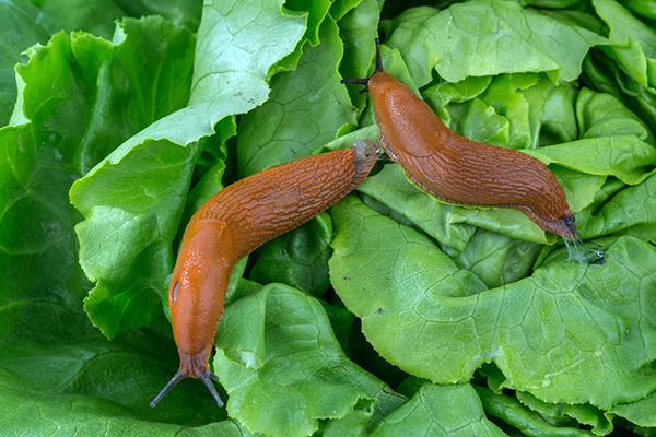 Слизни на салате
