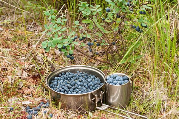 Сбор ягод лесной голубики