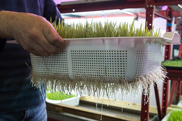 выращивание микрогрина на продажу