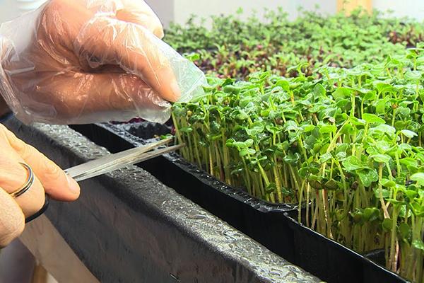 Срезка микрозелени