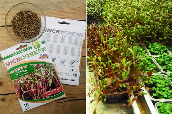 Выращивание микрозелени свеклы
