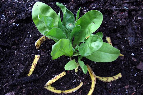 Удобрение клумбы банановой кожурой