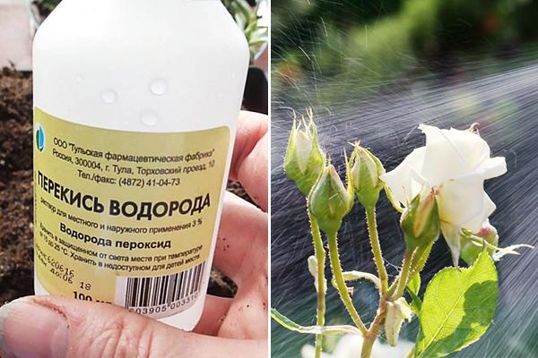 Опрыскивание розы водой с перекисью