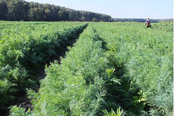 Выращивание кустового укропа