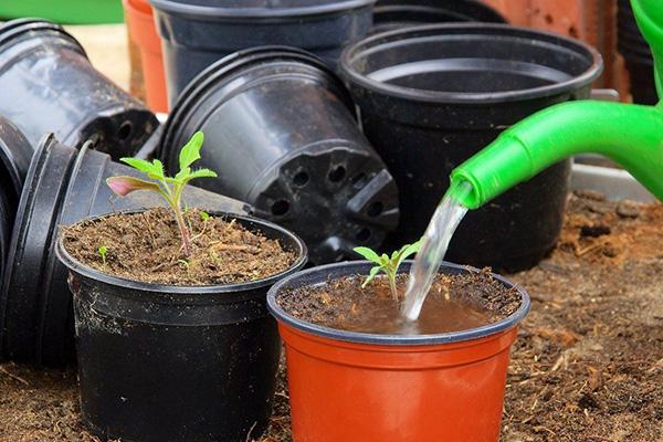 Полив рассады томатов раствором аммиачной селитры