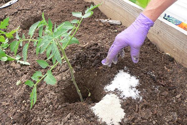 Удобрение томатов кальциевой селитрой при пересадке
