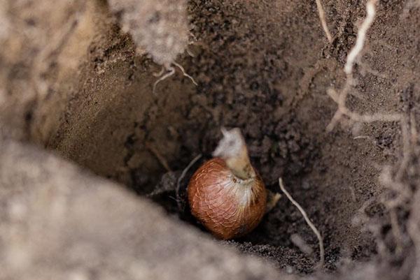 Посадка луковицы ацидантеры в открытый грунт