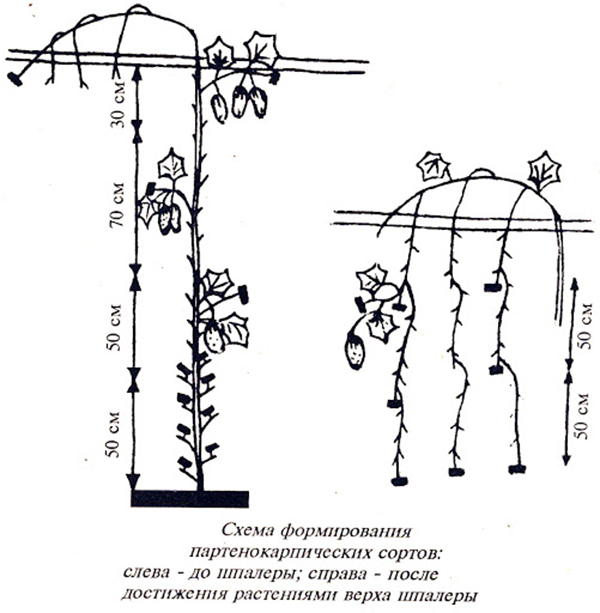 Схема формирования партенокарпических огурцов