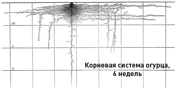 Строение корневой системы огурца в 6 недель