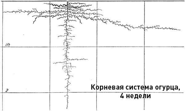 Проекция корневой системы огурца на начальном этапе роста