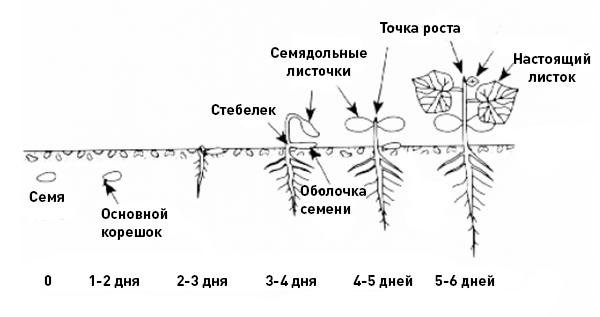 Развитие огурца после посева