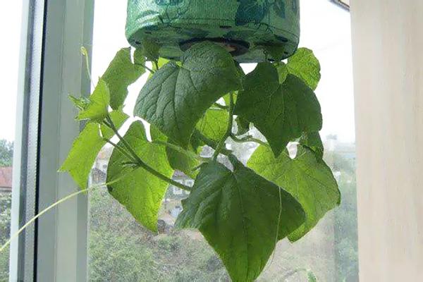 Выращивание огурца вверх корнями