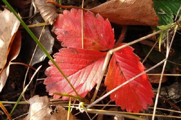 Красный лист клубники