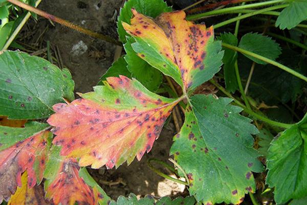 Бурые пятна на листьях клубники