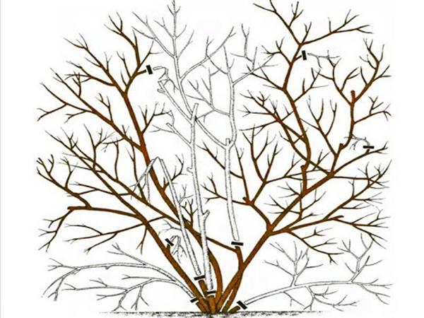 Схема обрезки куста голубики