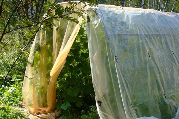 Выращивание огурцов в пленочном парнике