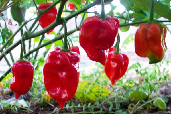 Жгучий перец Habanero Red Savina