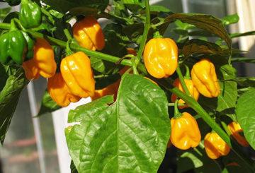 Выращивание перца Habanero Big Sun