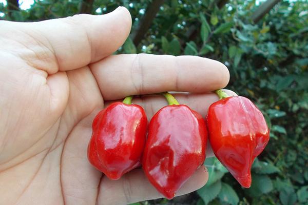 Перец Habanero Red Caribbean