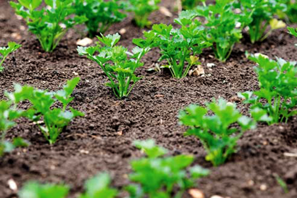 Выращивание корневой петрушки