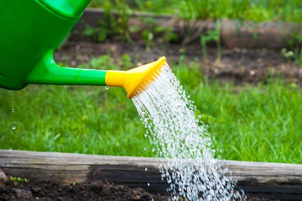 Полив грядки из садовой лейки