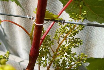 Подвязка винограда проволокой
